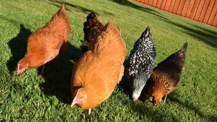 chickenssmall